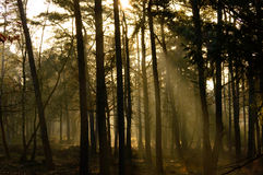Sunbeams penetrating a forest in morning light. Sunbeams penetrating a tall forest in morning light with mist clinging to the ground in an atmospheric landscape Stock Image