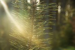 Sunbeams on pine branch Royalty Free Stock Images