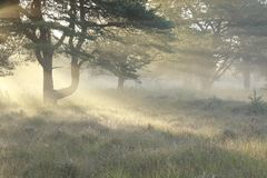 Sunbeams between pine trees in foggy morning. Sunbeams between pine trees during foggy morning royalty free stock photo