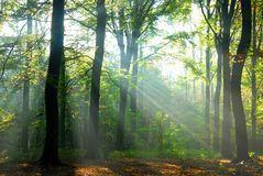 Sunbeams pour into an autumn forest Royalty Free Stock Photography