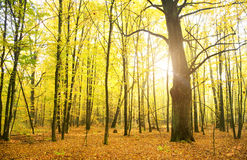 Sunbeams pour into the autumn forest. Stock Photography