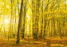 Sunbeams pour into the autumn forest. Stock Images