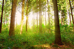 Sunbeams pour through trees in forest. Stock Photography