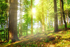 Sunbeams pour through trees in forest. Royalty Free Stock Image
