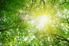 Sunbeams pour through trees in forest. Stock Images