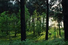 Sunbeams pour through trees in green forest. royalty free stock photos