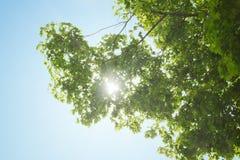 Sunbeams przez klonowej korony Obrazy Royalty Free