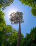 Sunbeams przez korony wysoki drzewo Zdjęcie Royalty Free