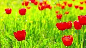 Sunbeams through red tulip flowers buds