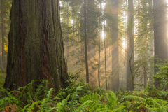 Sunbeams in redwood forest. Angelic-like sunbeams shine down on ancient redwood forest royalty free stock image