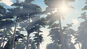 Sunbeams shine through the pines 3. Beautiful woodland scenery. Sunbeams shine through the pines in the pine wood Royalty Free Stock Image