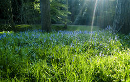 Sunbeams shining on bluebells. Shafts of sunlight illuminating a carpet of bluebells in a wood Stock Image