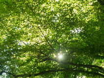 Sunbeams shining through branches from a beech tree Royalty Free Stock Photos
