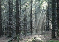 Light in the wood. Sunbeams shining into the dark eery spruce forest Royalty Free Stock Image