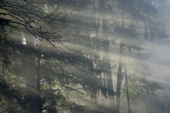 Sunbeams shining through foggy forest Royalty Free Stock Images