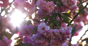 Sunbeams shining among Japanese cherry blossoms