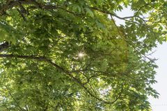 Sunbeams shining through the leaves of a lime tree Royalty Free Stock Images
