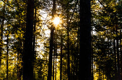 Sunbeams shining mystic through forest trees Royalty Free Stock Photography