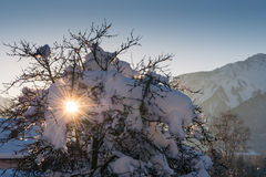 Sunbeams shining through snow covered tree Royalty Free Stock Images