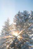 Sunbeams shining through snowy treetops on a cold winter morning Royalty Free Stock Photography