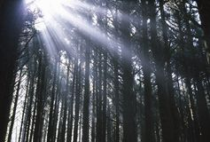 Sunbeams Through Silhouetted Pine Trees Stock Image