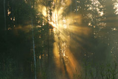 Sunbeams in the spring woods Stock Photography