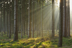 Sunbeams in Spruce Forest Royalty Free Stock Photo