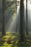 Sunbeams in Spruce Forest Royalty Free Stock Images