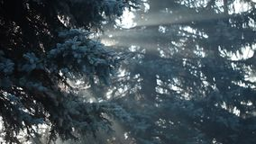 Sunbeams in strong fog in the forest, Poland. stock footage