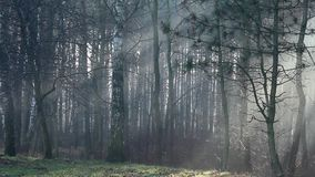 Sunbeams in strong fog in the forest, Poland. stock video