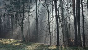 Sunbeams in strong fog in the forest, Poland stock video footage