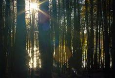 Sunbeams till och med treesna Royaltyfria Foton