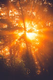 Sunbeams through tree in morning fog  details Royalty Free Stock Photography