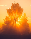 Sunbeams through tree in morning fog Royalty Free Stock Photos