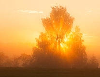 Sunbeams through tree in morning fog Royalty Free Stock Images