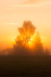 Sunbeams through tree in morning fog Stock Photo