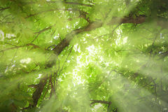Sunbeams in a tree Stock Image