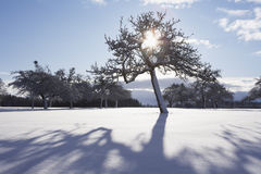 Sunbeams through tree in winter. Sunbeams through fruit tree in winter Royalty Free Stock Photography