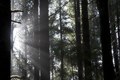 Sunbeams through the trees Royalty Free Stock Photo