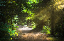 Sunbeams through the trees. On early morning in the forest Stock Photo