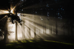 Sunbeams through trees in forest Royalty Free Stock Image