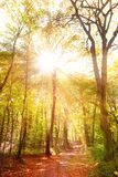 Sunbeams between trees in a forest. In autumn Royalty Free Stock Photography