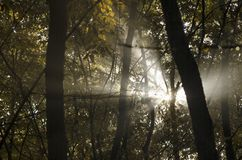 Sunbeams through trees. Sunshine through trees in nature Stock Photo
