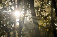 Sunbeams through trees. Sunshine through trees in nature Royalty Free Stock Photos
