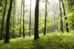 Sunbeams through trees. Sunshine through trees in nature Royalty Free Stock Image