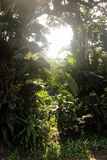 Sunbeams Through Tropical Vegetation Stock Images