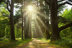 Sunbeams trough a cedar forest Royalty Free Stock Image