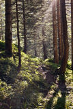 Sunbeams in the wood. In summer Royalty Free Stock Images