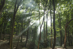 Sunbeams in woods. Sun rays Stock Photography