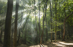 Sunbeams in woods. Sun rays Royalty Free Stock Photo